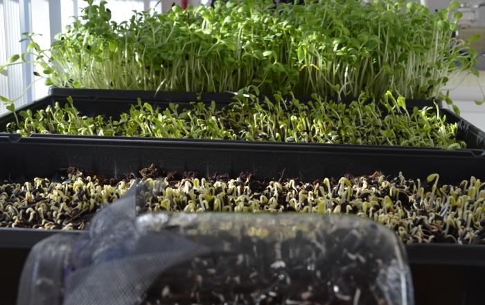 Inside Urban Gardening: Growing Sunflower Greens at Home