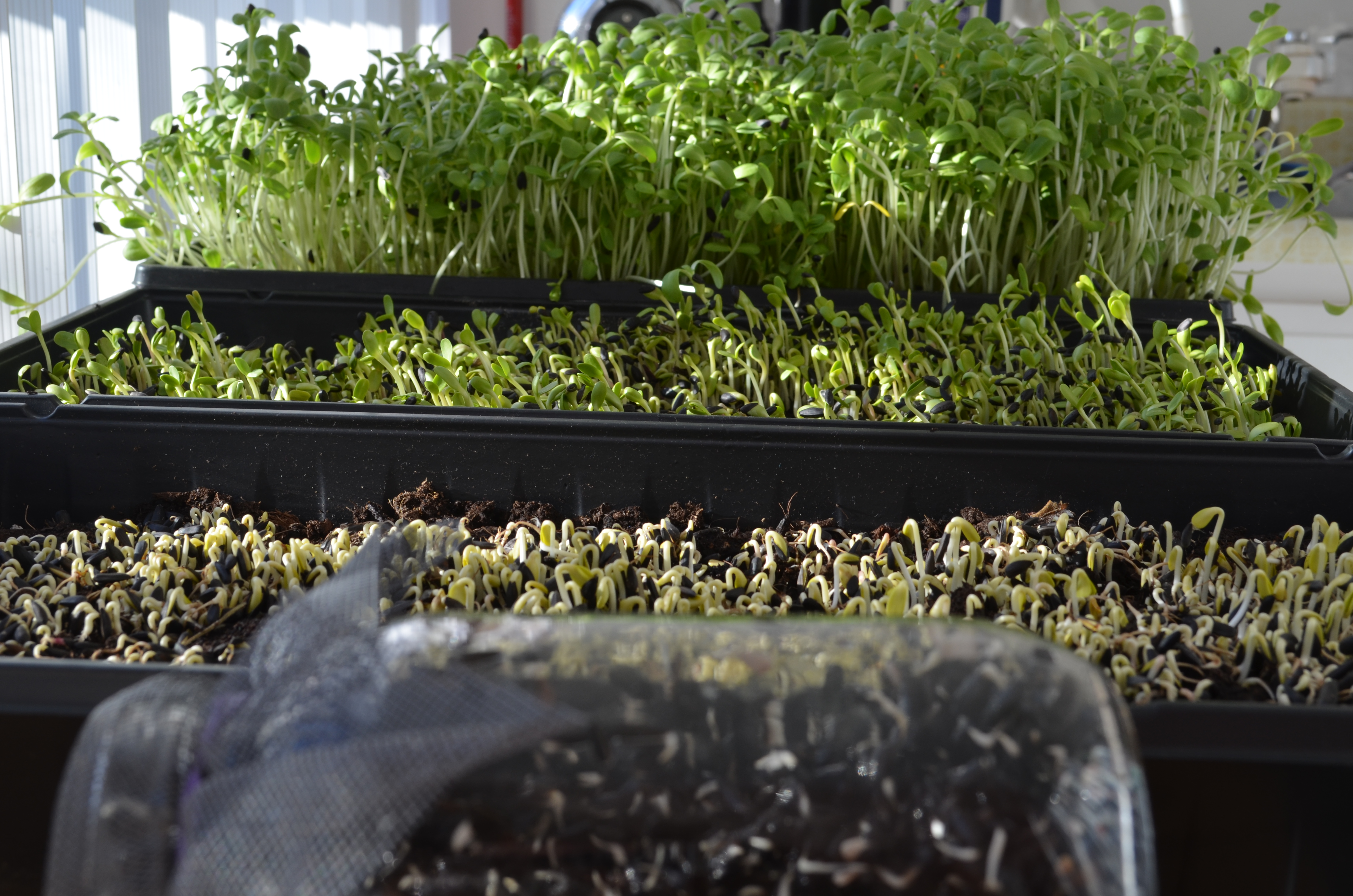 Jardinage urbain int rieur cultiver des pousses de for Jardinage interieur