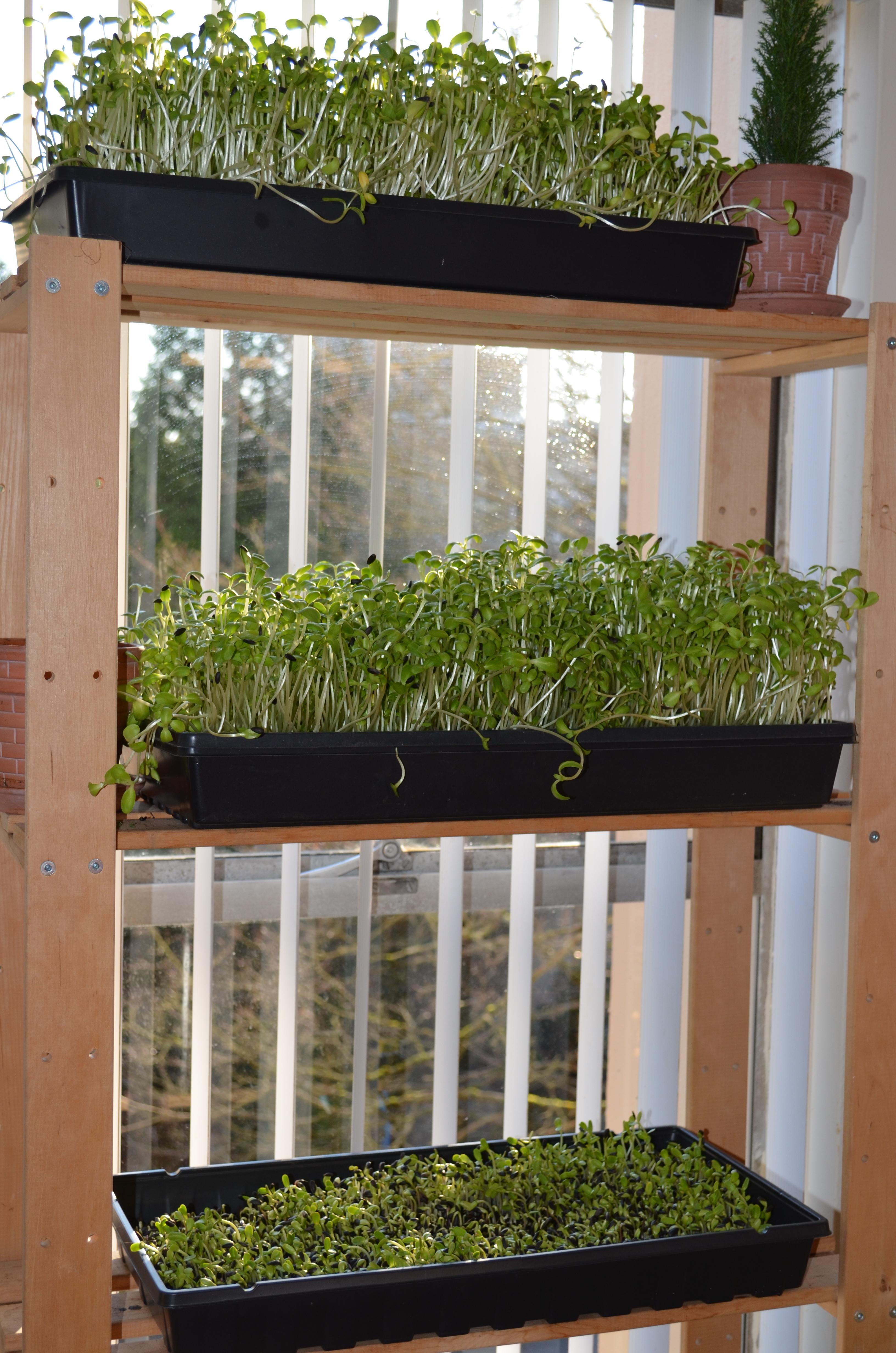 jardinage urbain int rieur cultiver des pousses de tournesol la maison chantale roy. Black Bedroom Furniture Sets. Home Design Ideas