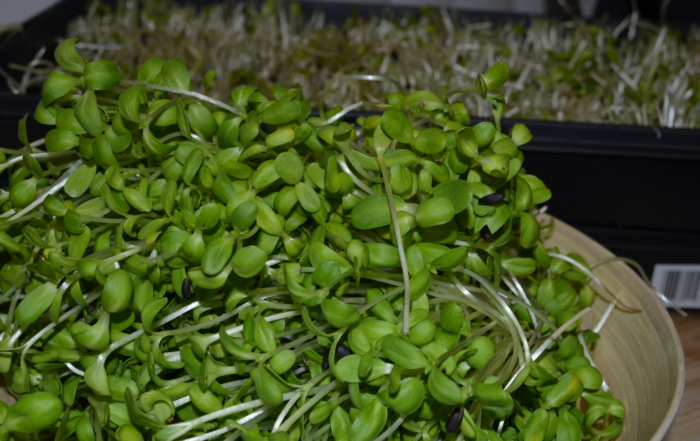 6 Easy steps to grow sunflower greens and pea shoots